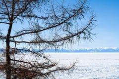 Lärchenbaum auf dem Ufer des gefrorenen Baikalsees, Sibirien, Russland stockfotografie