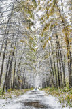 Lärchengasse im Park bedeckt mit erstem Schnee Lizenzfreie Stockbilder