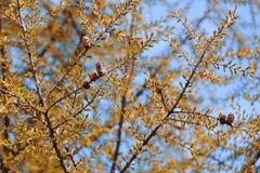 Lärchenhintergrund, gelbe Lärche Kegel und Nadeln eines Lärchenbaums lizenzfreie stockfotos