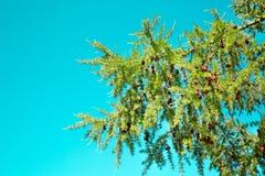 Lärchenniederlassung mit Kegeln gegen den Türkishimmel an einem hellen sonnigen Tag Die Beschaffenheit der Flora des m??igen Klim lizenzfreie stockbilder