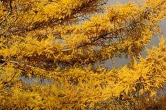 Lärk med gula visare Fotografering för Bildbyråer