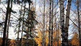 Lärk och björk Höststaden parkerar Naturligt skönhetlandskap stock video