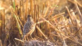 Lärkafågel som sjunger för att kalla hennes vänner på risfältfältet close upp Morgonsolljus 1