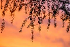 Lärken förgrena sig på solnedgången Arkivbild