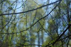 Lärkfilialer med mjuka gräsplaner mot bakgrunden av den lösa skogen arkivbilder