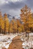 Lärkträd i nedgång efter första snö, Banff NP, Kanada royaltyfri foto