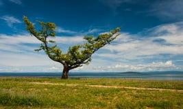 Lärkträd på den sandiga kusten av sjön Arkivfoton