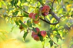 Läs äpplen på skörden Arkivbilder