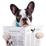 Läs- tidning för fransk bulldogg Royaltyfri Bild