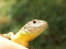 Läskig blick för gecko royaltyfria foton