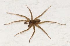 Läskig spindel Fotografering för Bildbyråer