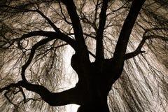 Läskiga gråta Willow Tree Arkivfoto