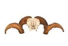 Läskiga seende RAM skalle och Horns Arkivfoton