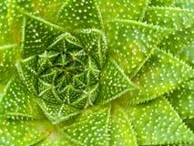 läskiga suckulenta texturer för kaktusmakro Royaltyfria Bilder