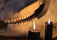 Läskiga tänder av hästskallen och två svarta stearinljus Arkivfoton