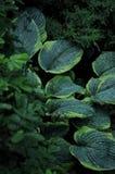 Lässt die Wirte im Regen Mit Tröpfchen auf den Blättern lizenzfreie stockfotos