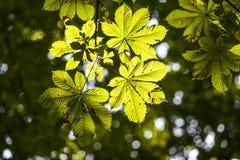 Lässt Kastanienbeleuchtung, Park, Sommer Lizenzfreies Stockbild