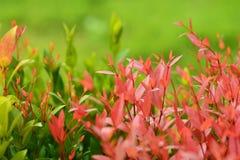 Lässt Rot im Garten Lizenzfreie Stockbilder