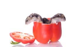 läst hamsterspeppar Royaltyfri Foto