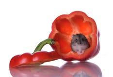 läst hamsterspeppar Royaltyfria Foton