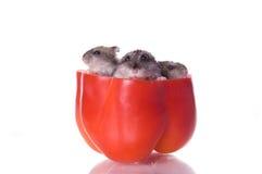 läst hamsterspeppar Fotografering för Bildbyråer