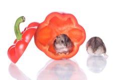 läst hamsterspeppar Royaltyfri Fotografi