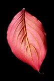 läst svart leaf för bakgrund Arkivbild