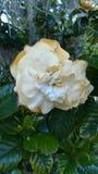 Lätt vissnad Gardenia Among Shrubbery och mossa arkivfoto