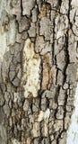 Lättnadstextur av texturen för skällplatanusacerifolia_Relief av en fjällig bark_I arkivbild