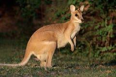 lättrörlig Australien vallaby royaltyfri bild