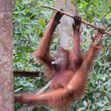 Lättrörlig ung orangutang som hänger från ett träd och tuggningar ett läckert royaltyfri bild