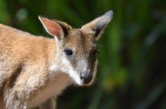 Lättrörlig vallaby i Queensland Australien Arkivbilder
