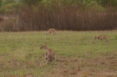 Lättrörlig vallaby och känguruunge nära Darwin, Australien Royaltyfria Bilder