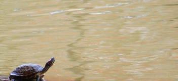 Lättretlig sköldpadda Arkivbild
