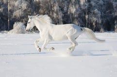 Läufergalopp des weißen Pferds stockfoto