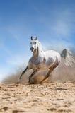Läufergalopp des weißen Pferds im Staub lizenzfreie stockfotografie