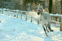 Läufergalopp des weißen Pferds im Winter Stockfoto