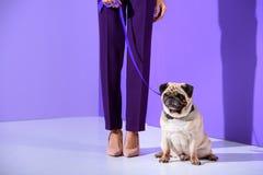 låg avsnittsikt av flickan som poserar med mopshunden, ultraviolett trend arkivfoto