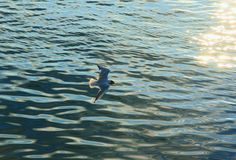 Låg-flyg seagull royaltyfri foto