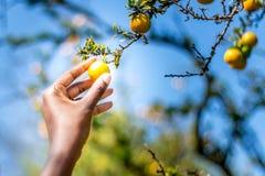 Låg hängande frukt Royaltyfri Foto