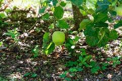 Låg hängande frukt, ett grönt äpple som nästan hänger jordningen fotografering för bildbyråer