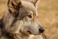Låg nöjd varg i den Yamnuska fristaden, Kanada, turistic dragning i Cochrane, gullig wolfdog som är hård att handla med royaltyfria foton