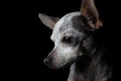 Låg nyckel- Chihuahua Fotografering för Bildbyråer