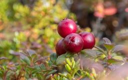 Låga Bush tranbärväxter fotografering för bildbyråer