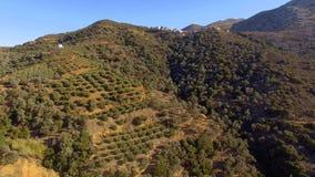 Lågt flyg över träden av unga olivträd som bildar ett hav av den gröna markisen lager videofilmer