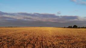 Lågt flyg för flyg- surr ovanför moget gult vetefält med molnig blå himmel i bakgrunden stock video