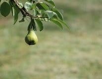 Lågt hängande fruktpäron Fotografering för Bildbyråer