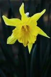 lånad lilja Royaltyfria Bilder