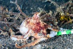 Lång armbläckfisk Royaltyfri Bild