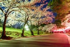 Lång exponering av den körsbärsröda blomningen i Joyama parkerar under Hanami fes Royaltyfri Fotografi